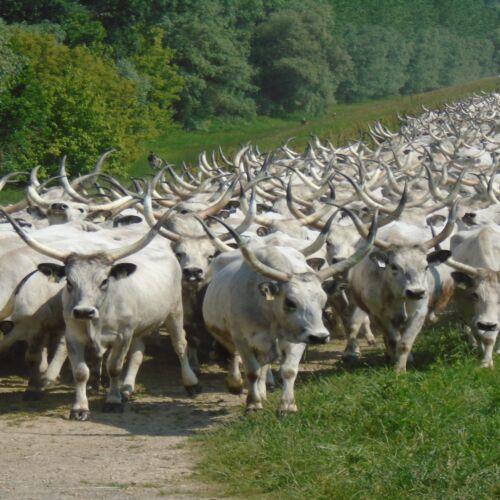 Szürke szarvasmarha hajtás | Tiszaug